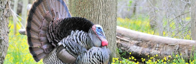 6872103-strutting-male-wild-turkey-displaying-in-the-spring-mating-season-stock-photo